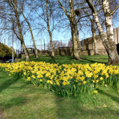 Daffodils at Ovenhouse Lane